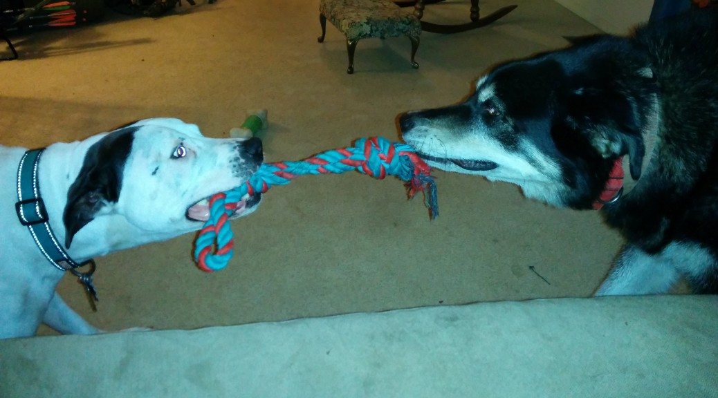 Maxtla and Cracker pulling opposite ends of a rope toy.