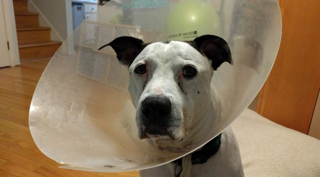 "Maxtla wearing a ""cone' to prevent licking sutures."